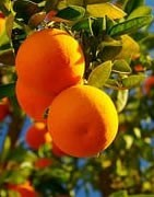 Naranjo - Cultivo