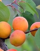Albaricoquero - Cultivo