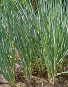 Cebollino - Cultivo
