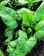 Espinaca - Cultivo