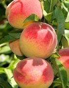 Frutales con Hueso - Cultivo