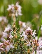Hierbas Aromáticas - Cultivo