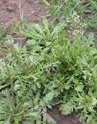 Plantas Dicotiledoneas - Plaga