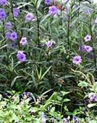 Plantas bianuales - Malas Hierbas - Plaga