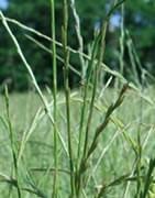 El Vallico. Plaga común en cultivos de cereal.