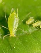 Comprar Insecticidas para pulgones - La Tienda del Agricultor®