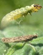 Comprar Insecticidas la tuta absoluta - La Tienda del Agricultor®