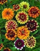 Ornamentales herbáceas