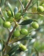 Olivo - Cultivo. La aceituna y el mejor aceite del mundo desde nuestros olivares.