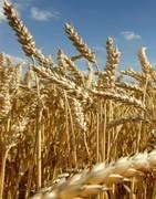 Trigo - Cultivo
