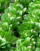 Lechuga - Cultivo