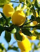 Limonero - Cultivo