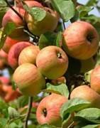 Manzano - Cultivo