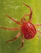 Araña Roja - Plaga