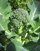 Brócoli - Cultivo