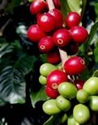Café - Cultivo