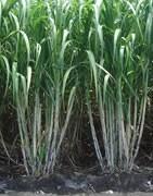 Caña de Azúcar - Cultivo