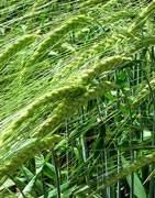 Cebada - Cultivo