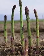 Esparrago - Cultivo