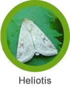 heliotis_plaga