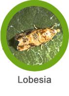 lobesia_plaga.jpg