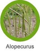 plaga alopecurus