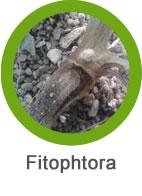 Plaga Fitophtora