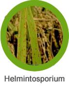 enfermedad de helmintosporium