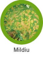 enfermedad de mildiu