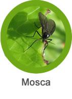 Plaga de mosca negra