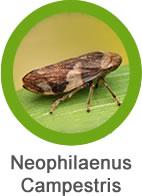 Plaga Neophilaenus