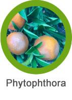 phytophthora en frutales
