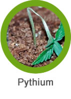 Plaga Pythium