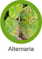 bacteria alternaria