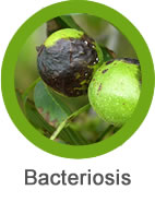 enfermedad bacteriosis