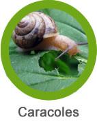 Plaga de Caracoles