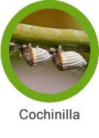 Plaga de cochinilla