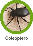 plaga de coleoptero