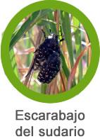 Plaga Escarabajo