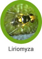 plaga de liriomyza