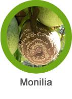 monilia en frutales