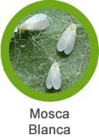 plaga de mosca blanca