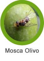 plaga mosca del olivo
