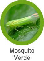 plaga de mosquito verde