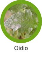 Plaga Oidio