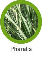 Mala hierba phalaris de hoja estrecha