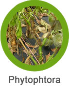 plaga phytophtora