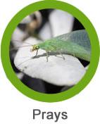 plaga de prays en olivo