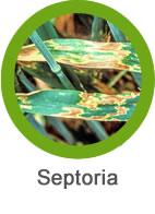 Mancha Septoria