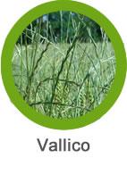 Plaga de Vallico